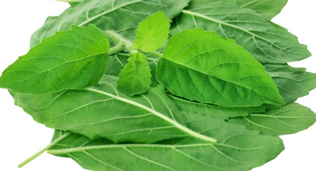 Is Holy Basil for Anxiety Disorders the Right Choice